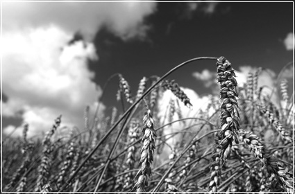 A field of wheat representing the Village Foundations agriculture projects